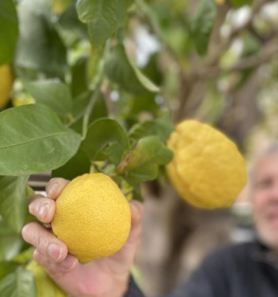 The Lemon Tree - Lemon Curd & Meringue Cupcakes - Joy